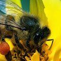 сколько живёт медоносная пчела