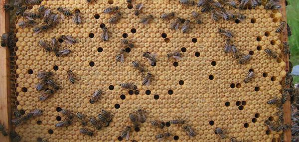 все о пчелах и пчеловодстве для начинающих