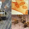акарапидоз пчел