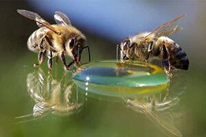 аскосфероз пчел лечение