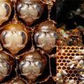 болезни пчелиного расплода