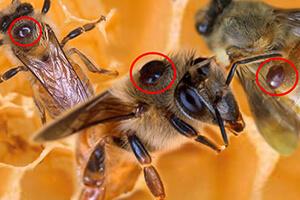 чем лечить пчел весной