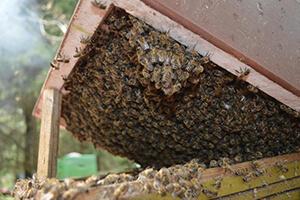гнилец у пчел признаки