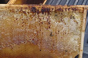 нозематоз пчел фото