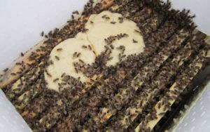 подкормка пчел сахарным сиропом пропорции