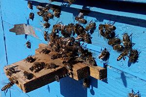 ранний облет пчел