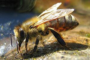Африканизированная пчела