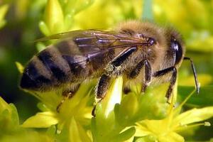 Башкирская пчела