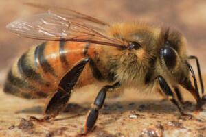 Кавказская пчела