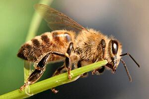 мергельская пчела