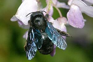 пчела плотник