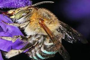 Приокская пчела