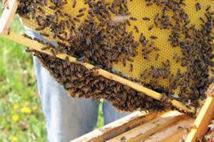 среднерусская пчела фото