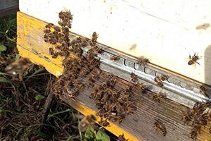 среднерусские пчелы улей