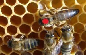 пчеломатки пешец