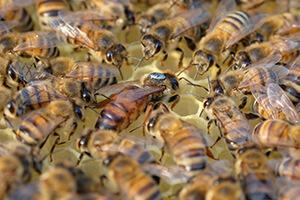 пчелы бакфаст отзывы