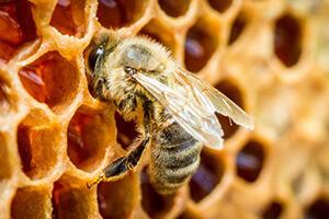 пчелы карника отзывы