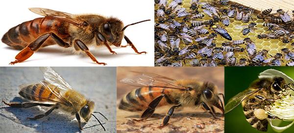 кавказская порода пчел
