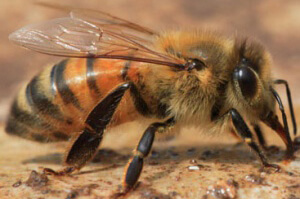 пчела серой горной кавказской породы