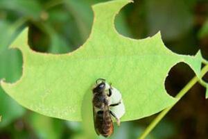 пчела листорез как бороться