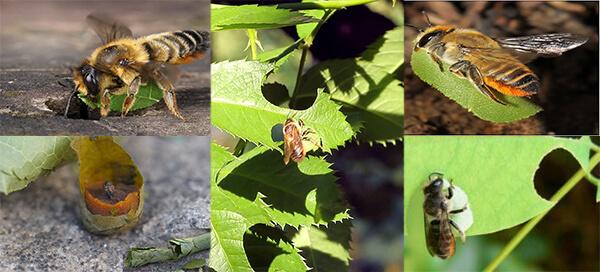 пчела листорез