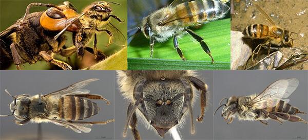 пчелы убийцы