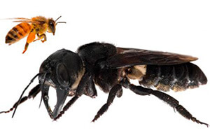 пчела уоллеса