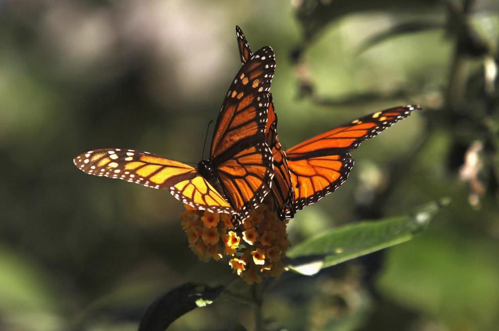 Бабочка: это насекомое или нет