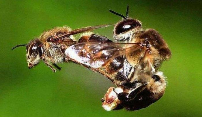 трутень пчела