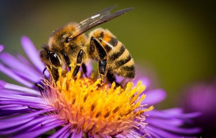 пыльца пчелиная полезные свойства
